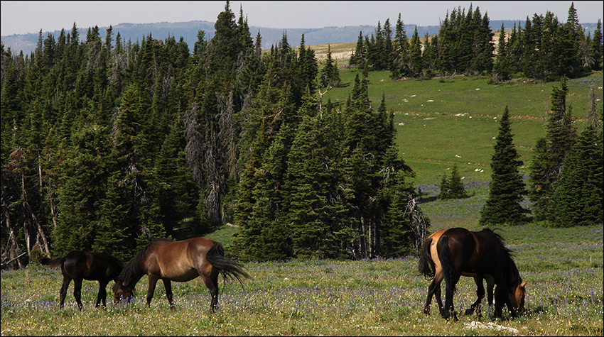 Wild Horses Pryor Mountains